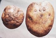 Oosporiose