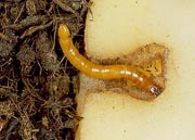 Wireworm holes